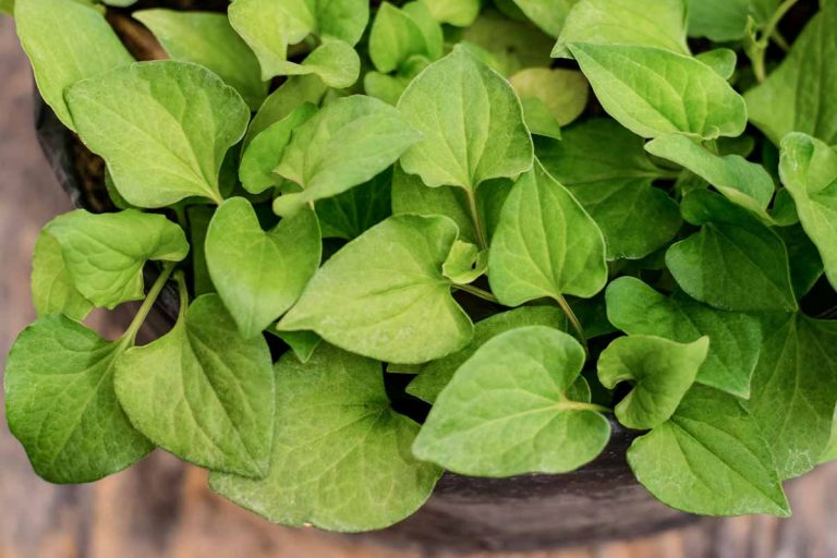 Fish mint growing in a container