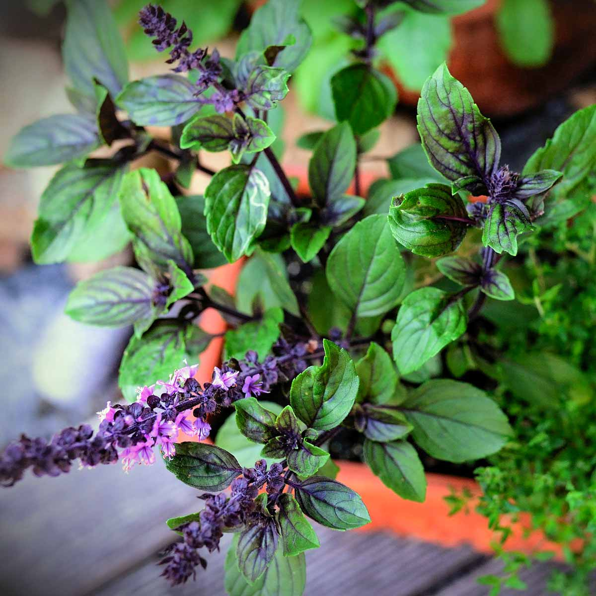 Basil plant with purple flowers