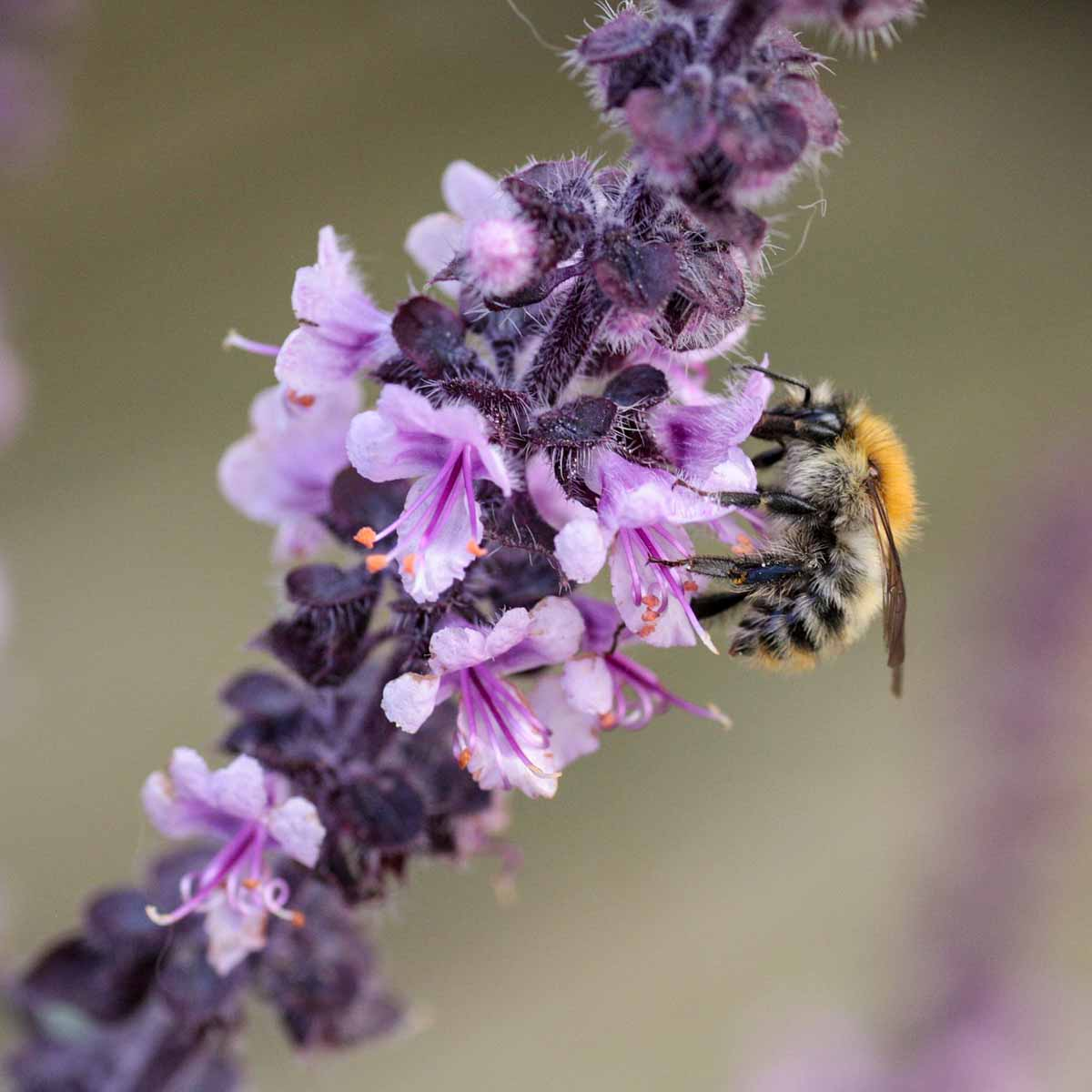 A bee on a purple basil flower