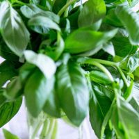 Large bunch of basil in water.