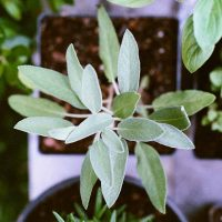 Sage growing in a pot indoors from seed