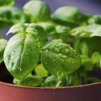 Basil growing in a pot