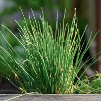 Chives grown from seed in a wooden pot