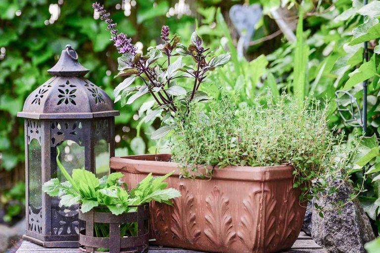 Basil and thyme growing in a terracotta pot.