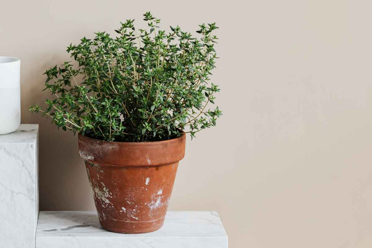Thyme growing in a terracotta pot.