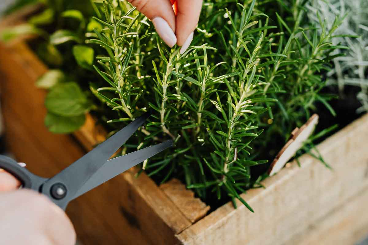Rosemary cutting being taken from a plant in a wooden box.