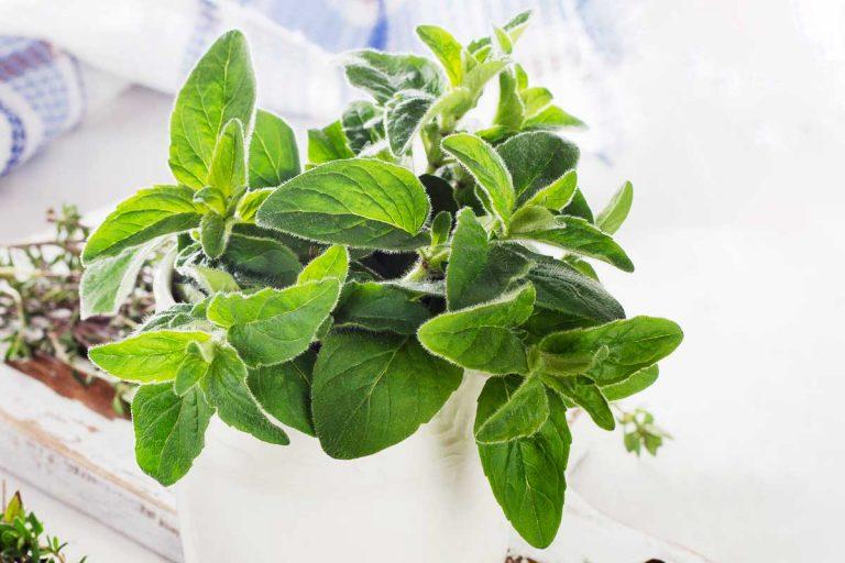 An oregano plant growing in a white pot.