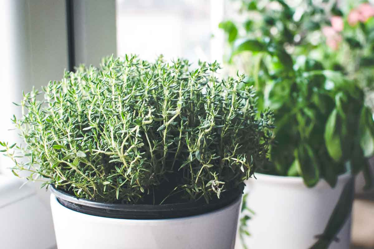 A pot of thyme growing on a windowsill.