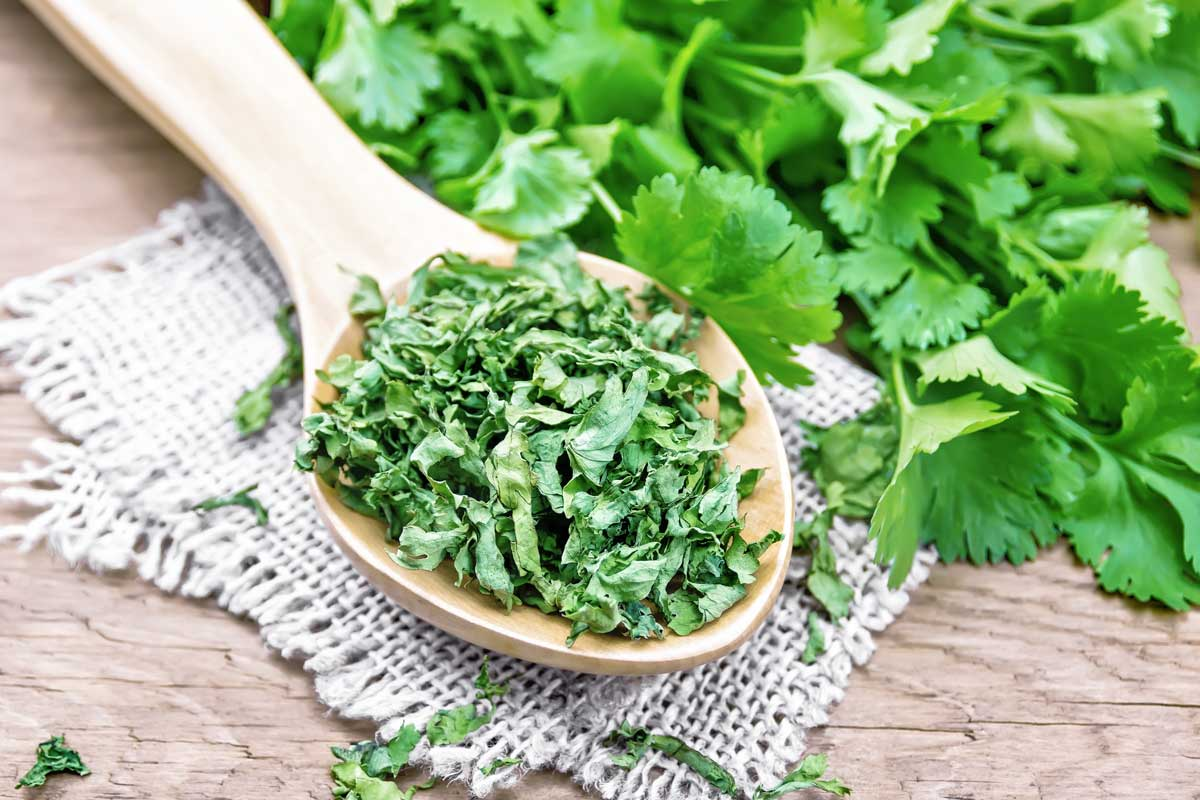 Dried cilantro on a wooden spoon with fresh cilantro in the background.