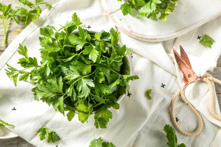 A bunch of freshly harvested flat leaf parsley on a white cloth.