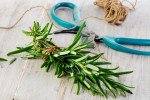 A freshly harvested sprig of rosemary.