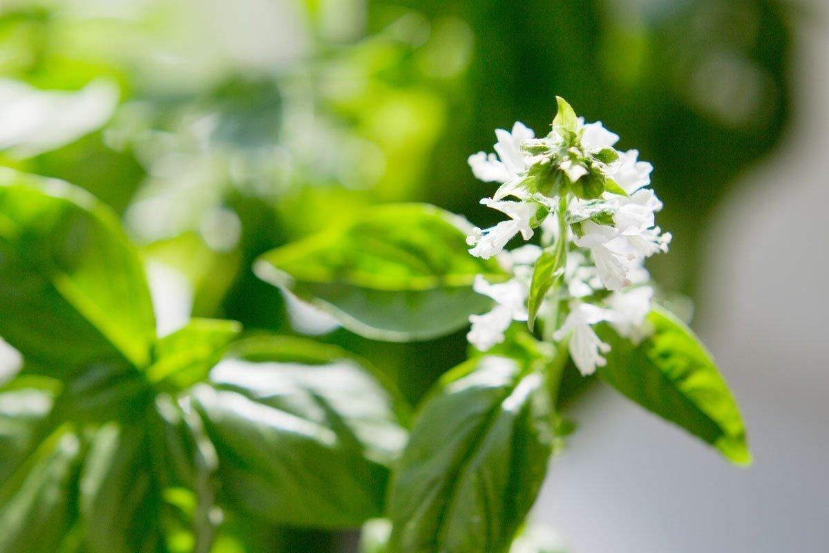 White basil flowers on a lush green basil plant.
